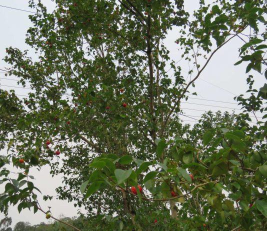 Dia da Árvore: casal cultiva árvores frutíferas no quintal de casa em Brusque