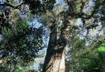 INTRODUÇÃO árvores em extinção brusque