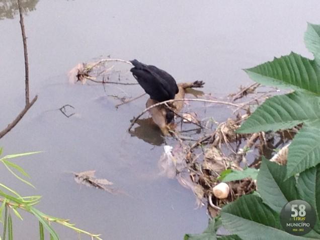Capivara morta na margem do rio Itajaí-Mirim